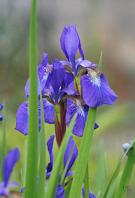 Photograph - Blue Flag Iris - Dsc03987 by Shirley Heyn