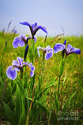 Railroad - Blue flag iris flowers by Elena Elisseeva