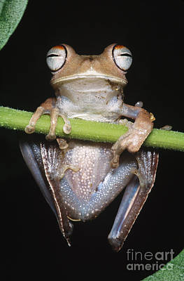 Frogs Photograph - Blue-flanked Tree Frog by Dante Fenolio