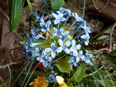 Photograph - Blue Flowers by Eva-Maria Di Bella