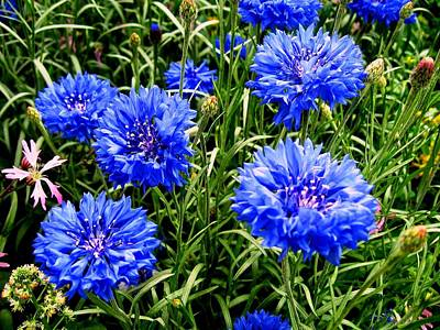 Photograph - Blue Flowers by Luis and Paula Lopez