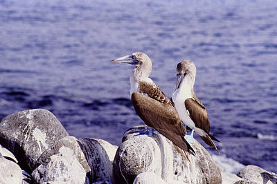 Photograph - Blue Footed Boobies by John Farley