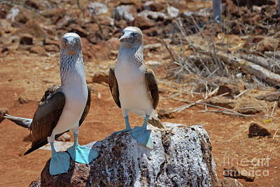 Blue-footed Boobies On Rock  Art Print by Sami Sarkis