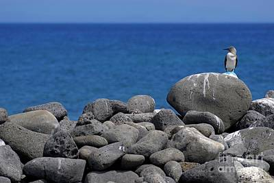 Blue-footed Booby On A Rock By Ocean Art Print by Sami Sarkis