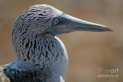 Blue-footed Booby Art Print by Sami Sarkis
