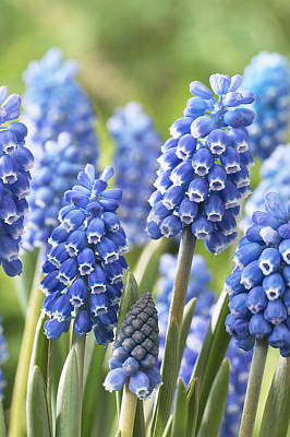 Blue Grape Hyacinth Muscari Aucheri Print by VisionsPictures