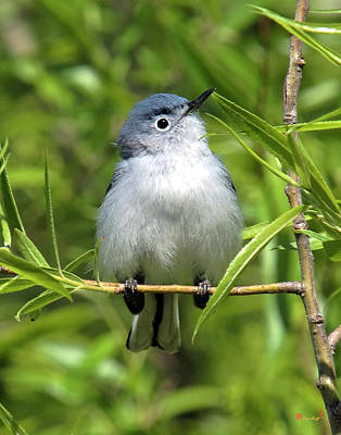 Art Print featuring the photograph Blue-gray Gnatcatcher Dsb147 by Gerry Gantt