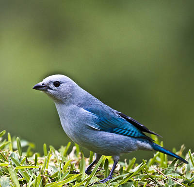 Blue-grey-tanager Art Print by Heiko Koehrer-Wagner