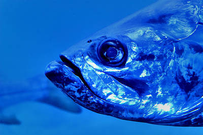 Photograph - Blue Grouper by Carolyn Marshall