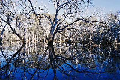 Blue Gum Trees And Reflections Art Print by Jason Edwards