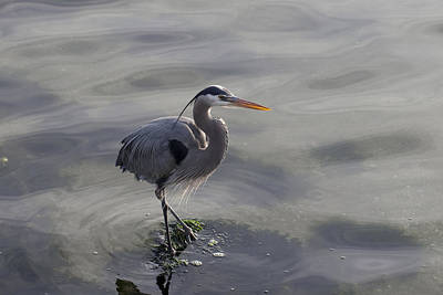 Photograph - Blue Heron 2 by John Noel