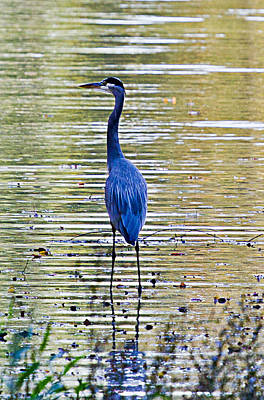 Blue Herron Photograph - Blue Heron-3 by Barry Jones