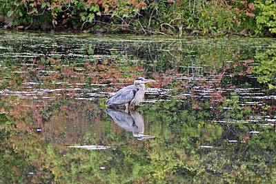 Photograph - Blue Heron And Autumn Colors by Joe Faherty