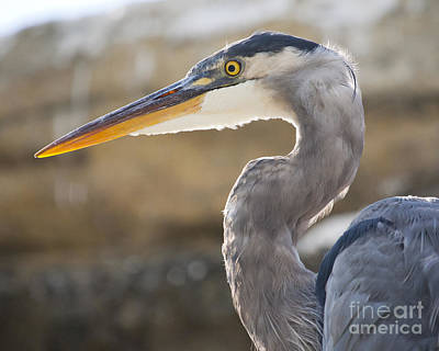 Photograph - Blue Heron by Chris Dutton