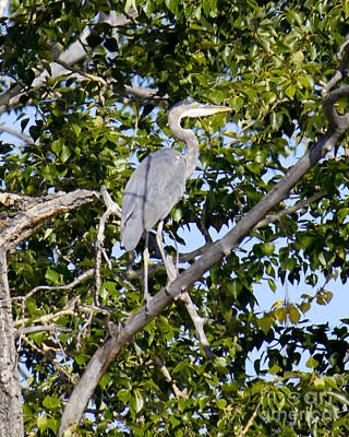 Photograph - Blue Heron by Donna L Munro