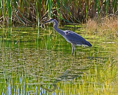 Photograph - Blue Heron Eats Lunch1 by Edward Kovalsky