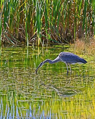 Photograph - Blue Heron Eats Lunch2 by Edward Kovalsky