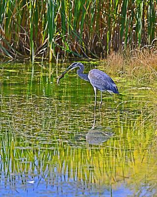 Photograph - Blue Heron Eats Lunch3 by Edward Kovalsky