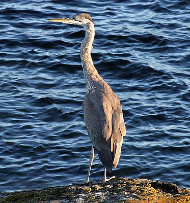 Photograph - Blue Heron by George Cousins