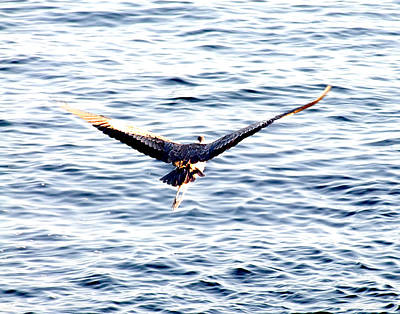 Photograph - Blue Heron In Flight by George Cousins