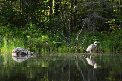 Photograph - Blue Heron Long Pond Wmnf by Benjamin Dahl