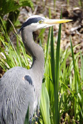 Art Print featuring the photograph Blue Heron by Marilyn Wilson
