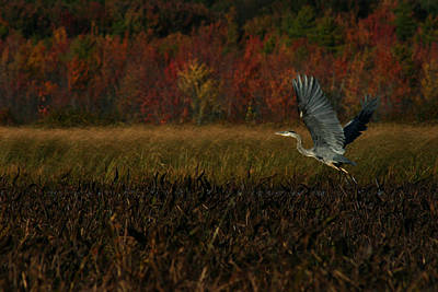 Photograph - Blue Heron Mud Pond Dublin by Benjamin Dahl