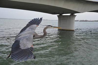 Photograph - Blue Heron  by Randy J Heath