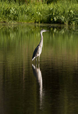 Lake Life - Blue Heron Reflection by Pam  Holdsworth