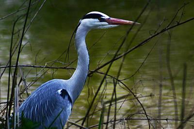 Photograph - Blue Heron Vondelpark Amsterdam by Benjamin Dahl