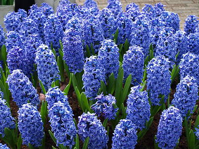 Blue Hyacinth Art Print by Larry Krussel