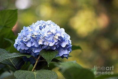 Art Print featuring the photograph Blue Hydrangea by Denise Pohl