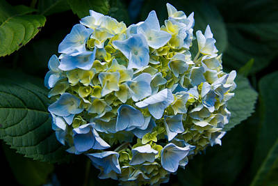 Blue Hydrangea Art Print by Theresa Johnson