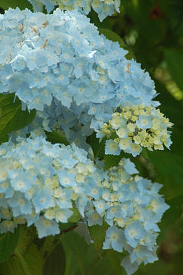 Art Print featuring the photograph Blue Hydrangeas by Peg Toliver