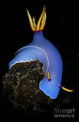 Photograph - Blue Hypselodoris Bulockii Sea Slug by Mathieu Meur