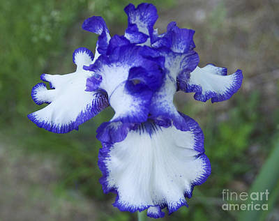 Blue Iris Art Print by Cindy Lee Longhini