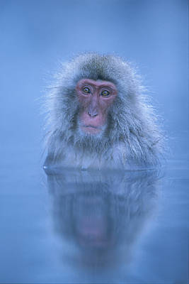 Photograph - Blue Japanese Macaque Bathing by Ingo Arndt