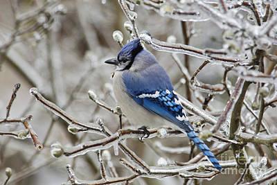 Cyanocitta Cristata Photograph - Blue Jay - D003568 by Daniel Dempster