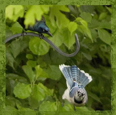 Photograph - Blue Jay And Crow by Shelley Bain