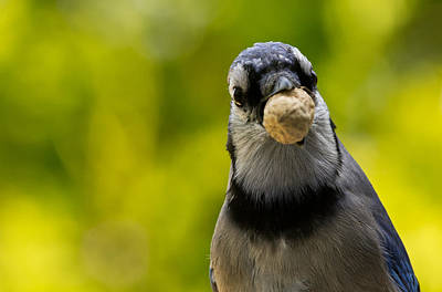 Bird Watching Photograph - Blue Jay by Cale Best