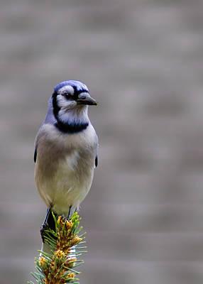 Black Photograph - Blue Jay In The Pine by LeeAnn McLaneGoetz McLaneGoetzStudioLLCcom