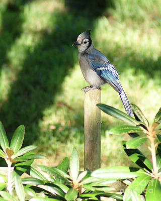 Photograph - Blue Jay On The Post by Margie Avellino