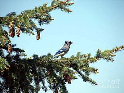 Photograph - Blue Jay by Ronald Tseng
