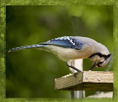 Photograph - Blue Jay by Shelley Bain