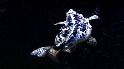 Butterfly Koi Photograph - Blue Koi Surfacing by Don Mann