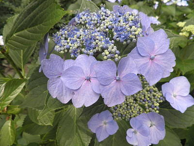 Blue Lacecap Hydrangea Art Print by Kate Gallagher