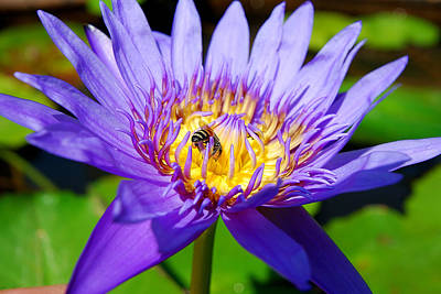 Blue Lotus And Honey Bee Art Print