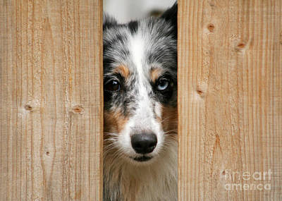 Photograph - Blue Merle Sheltie by Kati Finell