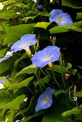 Photograph - Blue Morning Glories by Kay Novy