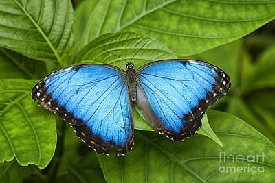 Photograph - Blue Morpho Butterfly by Cheryl Davis